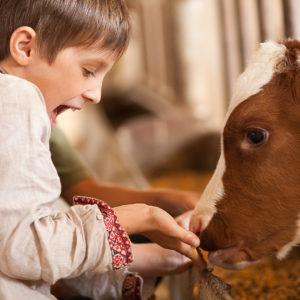 сири з коров'ячого молока